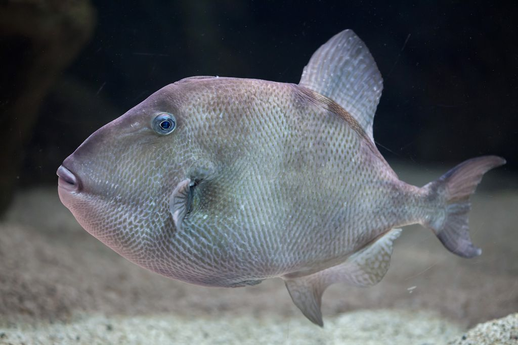 Triggerfish in the sea